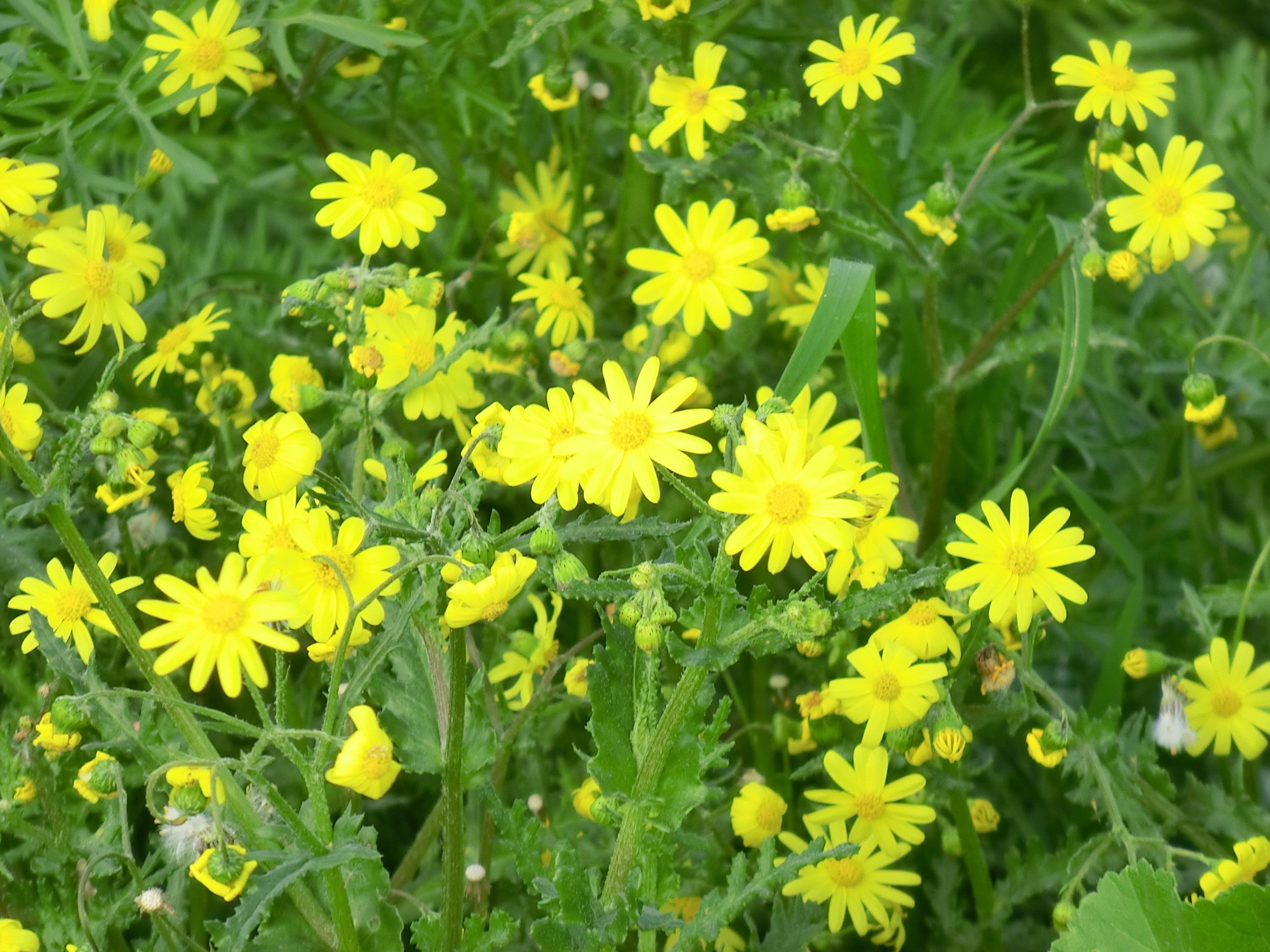 הגל הצהוב - בפריחה